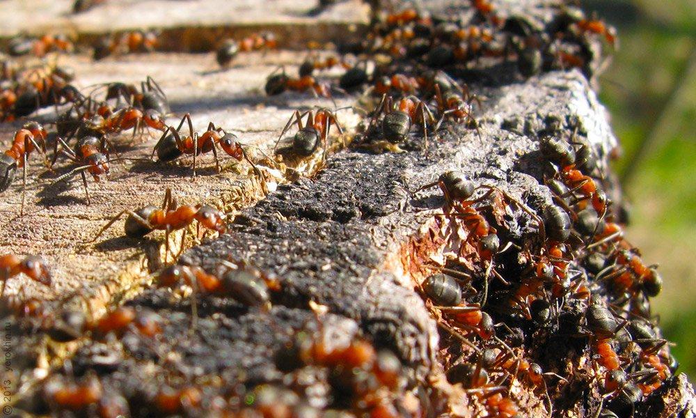 семьи муравьев картинки чёрная